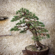 A beautiful pinus sylvestris which I had repotted already in the spring. It grew...