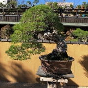 A veiew shoots from the last days in Shunkaen   #bonsai #shunkaen #oyakata