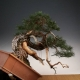 Demo tree a Pinus sylvestris.  I did today at the national bonsai exhibition in ...