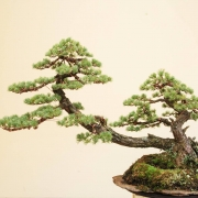 Gojomatsu tripletrunk with quite good foliage revised and refined for a customer...