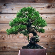 Just reworked #shohin .  #itoigawashimpaku  #brosebonsai  #bonsai