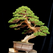 Latest work in my studio. A large Juniperus chinensis of a customer.