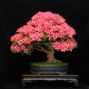 Satzuki Korin also trained 5 years ago from raw material. Last day in bloom befo...