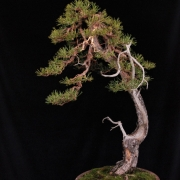 Today I have worked in my Studio a Pinus Sylvestris I bought 2 years ago from a ...