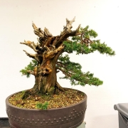 Two very different trees of Yesterday's demo (taxus cuspidata) and workshop (Jun...