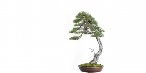 Brose Bonsai