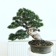 A small #chuhin Juniper #itoigawashimpaku at the workshop last week in Austria f...
