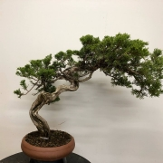 Demo tree (Juniperus Sabina) from yesterday's bonsai regio Württemberg event in ...