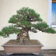 Japanese Black Pine worked for a customer. #bonsaiart #bonsai #brosebonsai #blac...