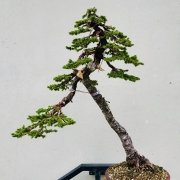 Today's work for a customer near Vienna. Picea jezoensis , Pseudocydonia sinen...