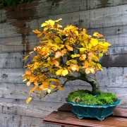 Fagus silvatica in my garden. A tree i collected several years ago. Übersetzun...
